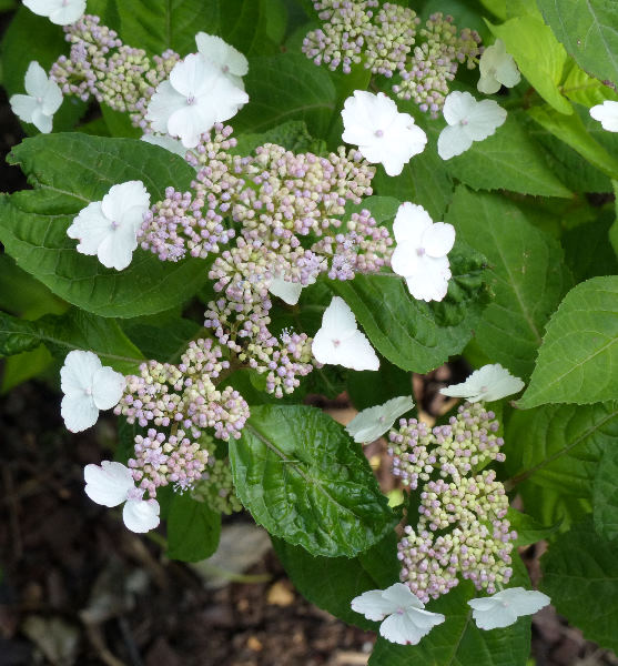 Hydrangea serrata (Thunb.) Ser. 'Golden Sunlight'