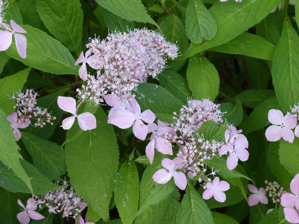 Hydrangea serrata (Thunb.) Ser. 'Shirotae'