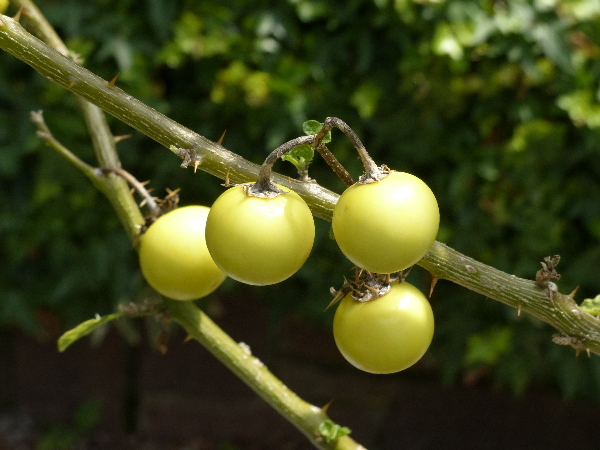 Solanum linnaeanum Hepper & P.-M.L.Jaeger