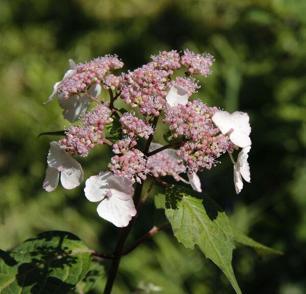 Hydrangea serrata (Thunb.) Ser. 'Rosalba'