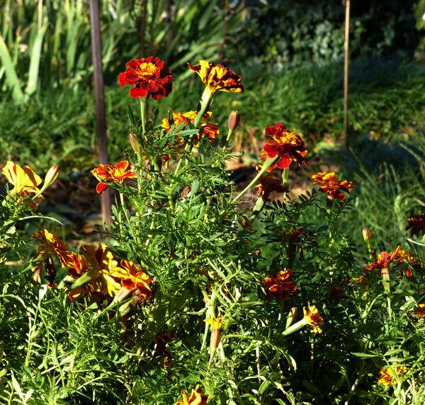 Tagetes patula L. 'Hero Orange'