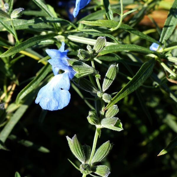 Salvia azurea Michx. ex Lam.