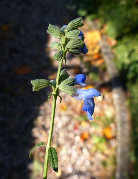 Salvia azurea Michx. ex Lam. var. grandiflora Benth.