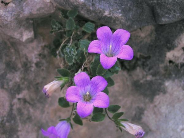 Campanula morettiana Rchb.