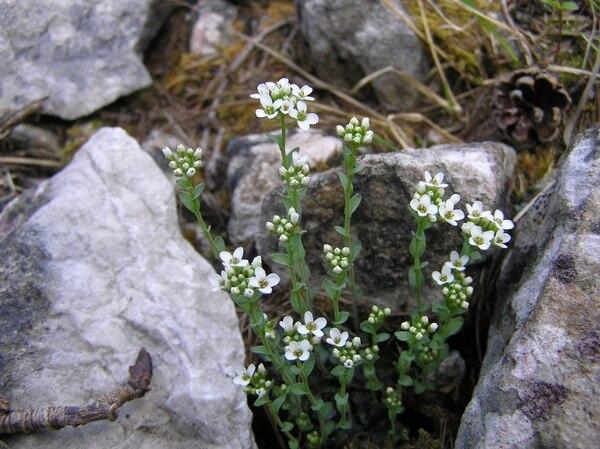 Noccaea minima (Ard.) F.K.Mey.