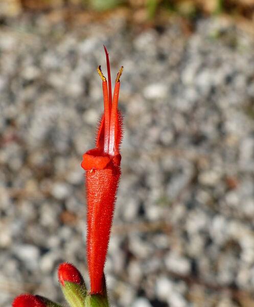 Salvia haenkei Benth.