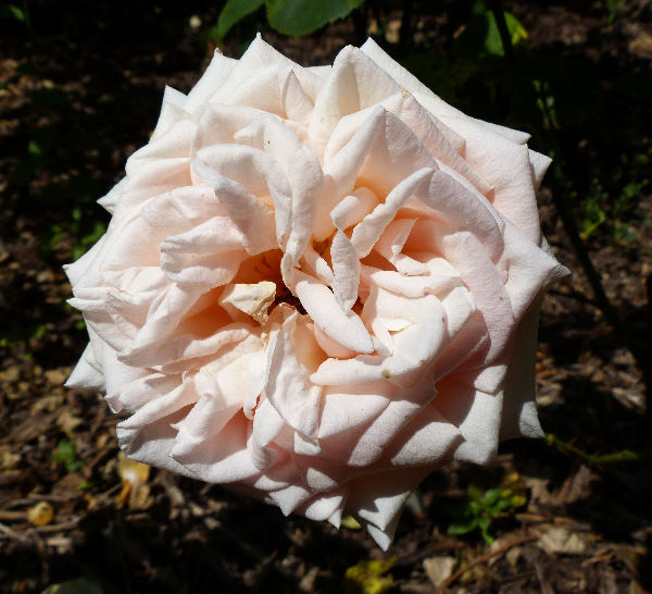 Rosa 'Antico Amore ®'