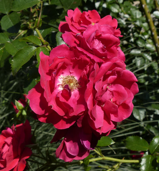 Rosa 'Tradition ™'