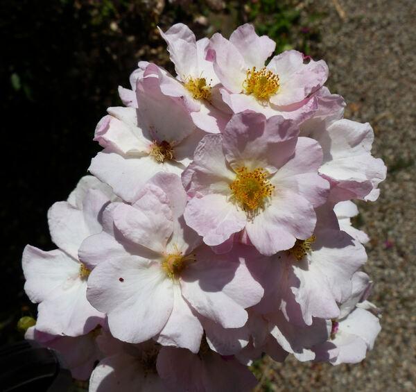 Rosa 'Bel Esprit'