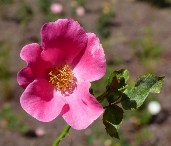 Rosa 'Pink Olympic'