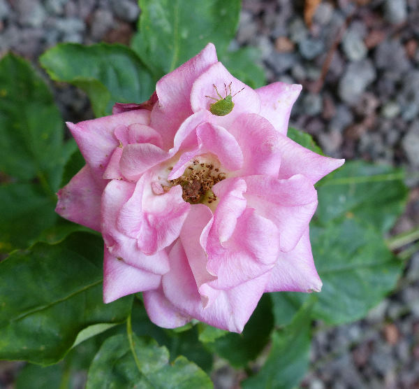 Rosa 'Rouqing sishui'