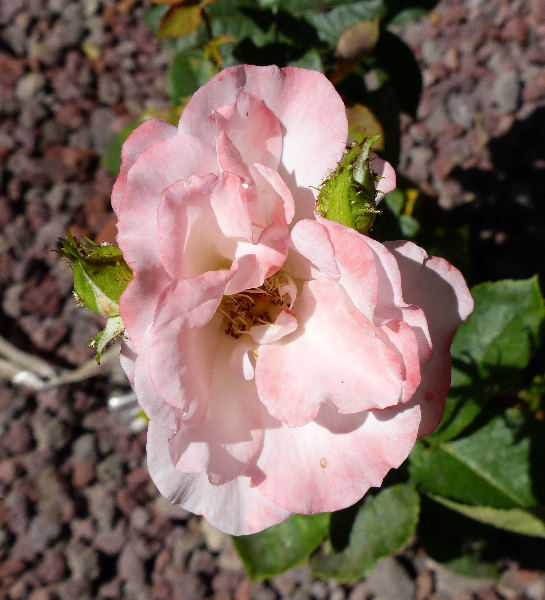 Rosa 'Bud mutation of Sunny n°1'