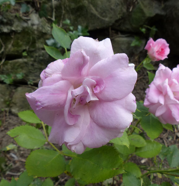 Rosa 'Qi jing'