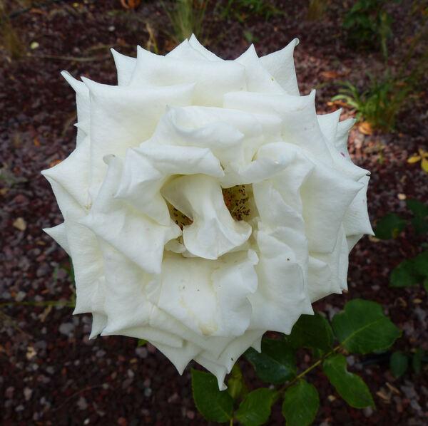 Rosa 'Bai duan'