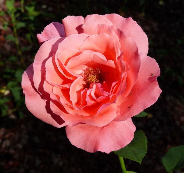 Rosa 'Fen shan'
