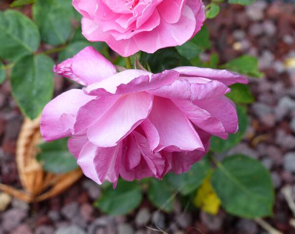 Rosa 'Mantian yinxing'