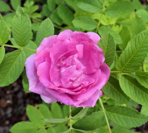 Rosa 'Zizhi meigui'