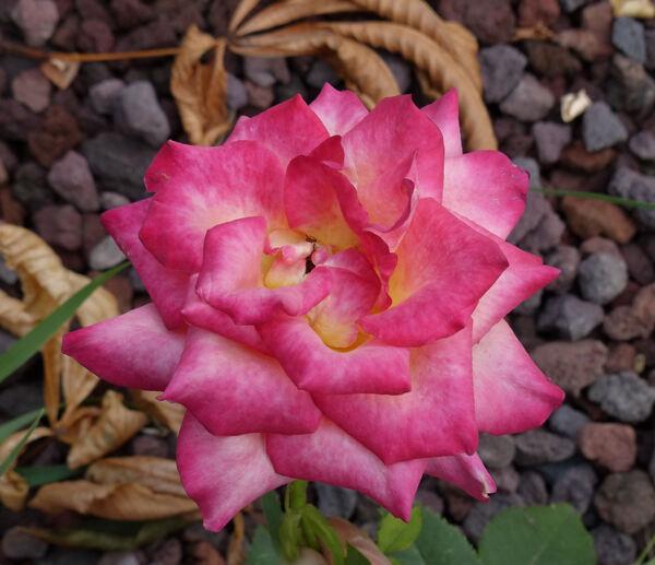 Rosa 'Bud mutation of Meihao shiguang'