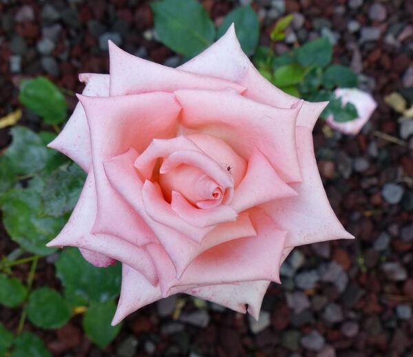 Rosa 'Yan ni'