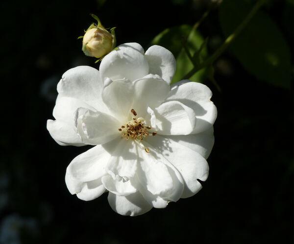 Rosa 'Crème'
