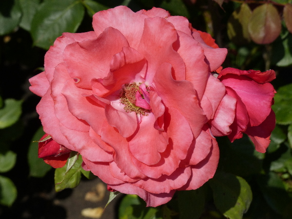 Rosa 'Comanche'