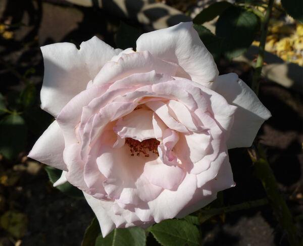 Rosa 'Elizabeth Harkness ®'