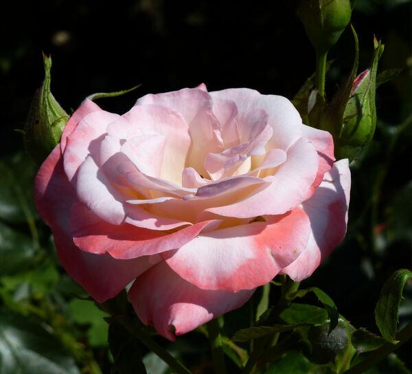 Rosa 'Primo Premio'