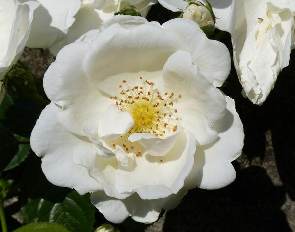 Rosa 'White Star'
