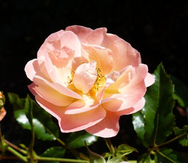 Rosa 'Sedana'
