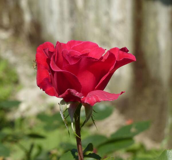 Rosa 'Victor Hugo ®'
