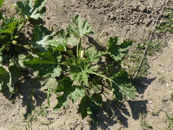 Cucurbita pepo L. subsp. pepo