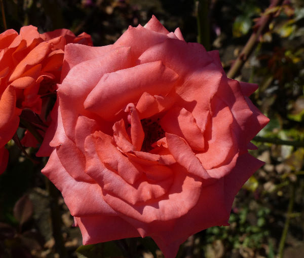 Rosa 'Prince Claus'