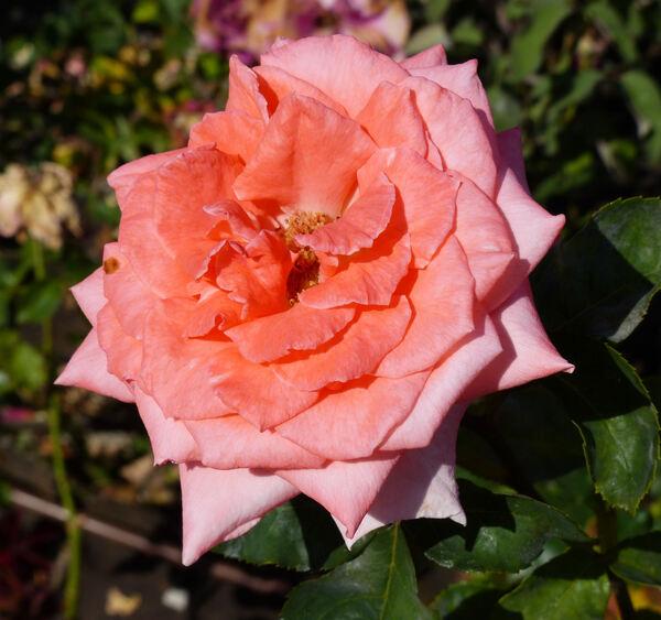 Rosa 'Profil'