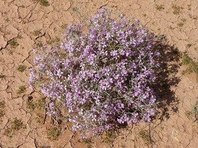 Zilla spinosa (Turra) Prantl.