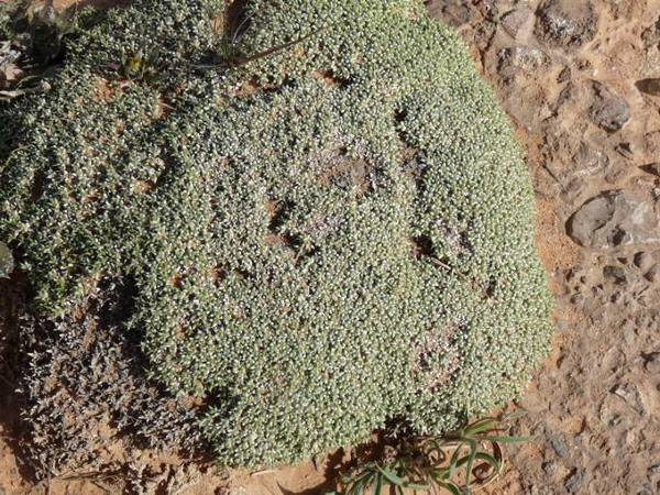 Fredolia aretioides Coss. & Dur. ex Bunge