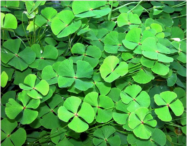Marsilea quadrifolia L.
