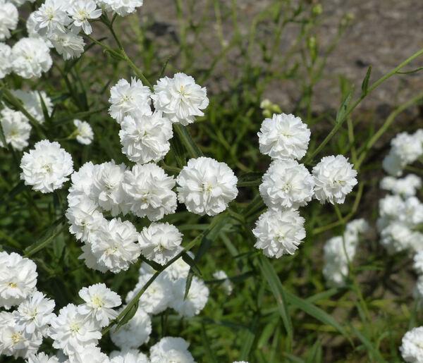 Achillea ptarmica L. 'Flore Pleno'