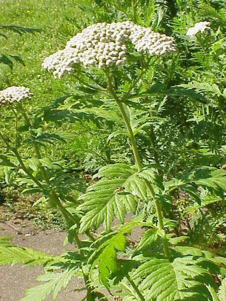 Tanacetum macrophyllum (Waldst. & Kit.) Sch.Bip.