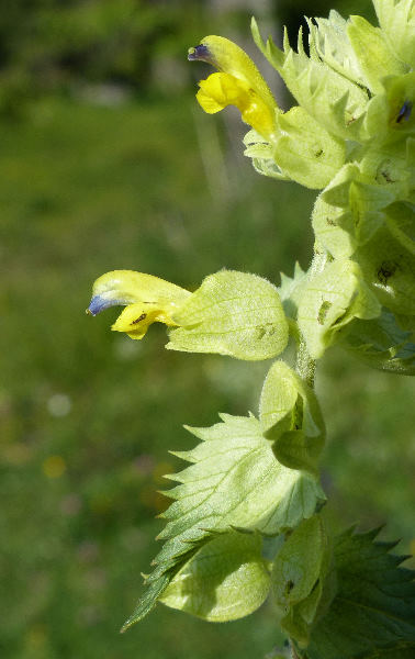 Rhinanthus freynii (Sterneck) A.Kern. ex Fiori