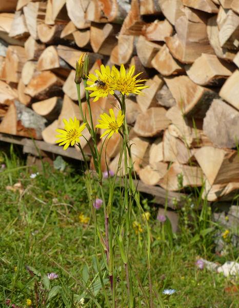 Tragopogon orientalis L.