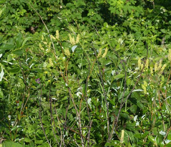 Salix glabra Scop.