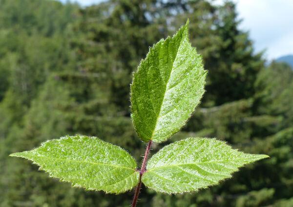 Rubus hirtus Waldst. & Kit. group