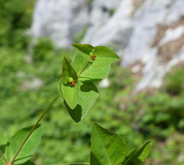 Euphorbia dulcis L. subsp. incompta (Ces.) Nyman