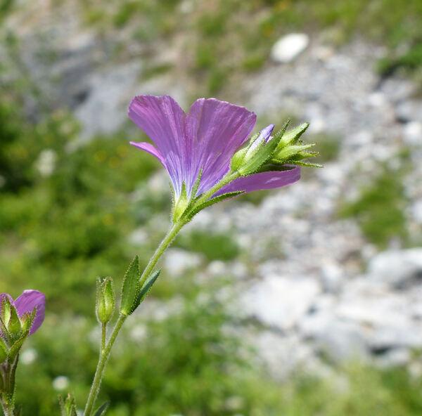 Linum viscosum L.