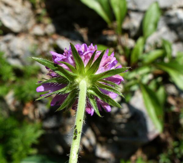 Knautia ressmannii (Pacher) Briq.