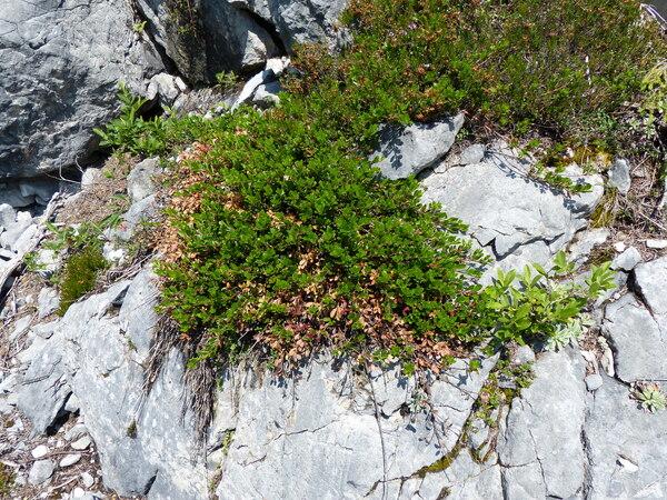 Arctostaphylos uva-ursi (L.) Spreng.