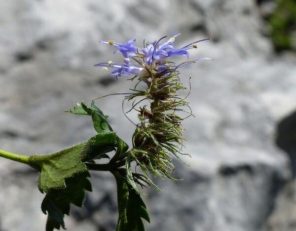 Paederota bonarota (L.) L.