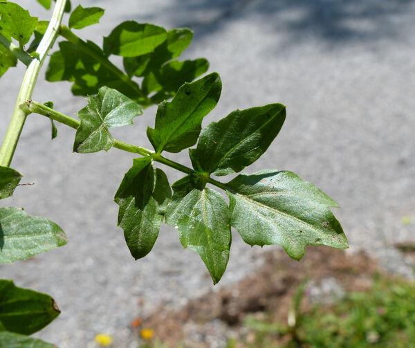 Cardamine amara L. subsp. amara