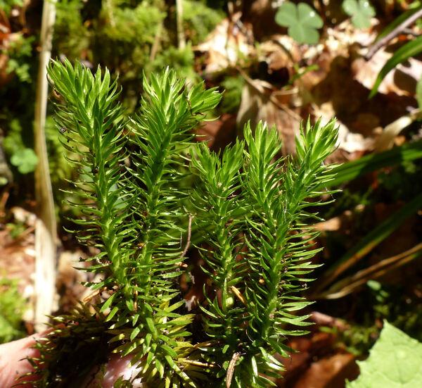 Huperzia selago (L.) Bernh. ex Schrank & Mart. subsp. selago