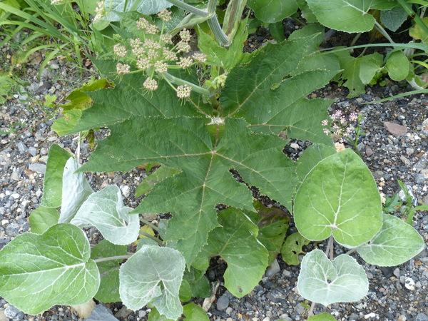 Heracleum pyrenaicum Lam. subsp. pollinianum (Bertol.) F.Pedrotti & Pignatti